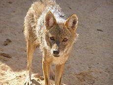 (cc) Ägyptischer Wolf (Canis aureus lupaster), wikipedia