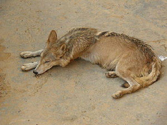 (cc) Farhan from Karachi, Pakistan, Indischer Wolf (Canis lupus pallipes)