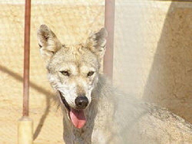 (cc) Felagund, Arabischer Wolf (Canis lupus arabs), wikipedia