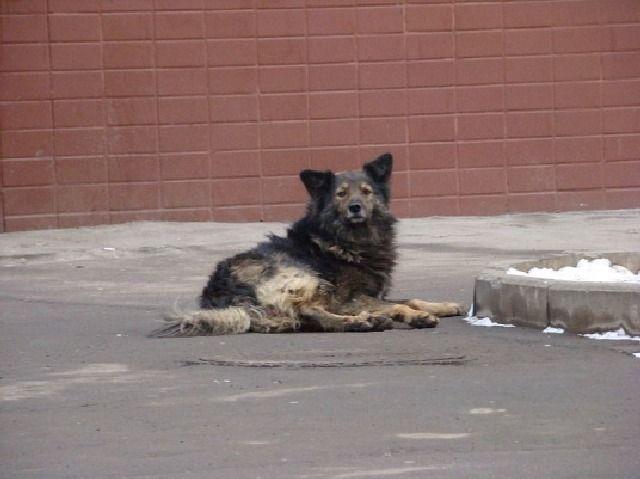 (cc) Andrey from Russia, Feral dogs, 2007 Wikipedia (spitzartig)