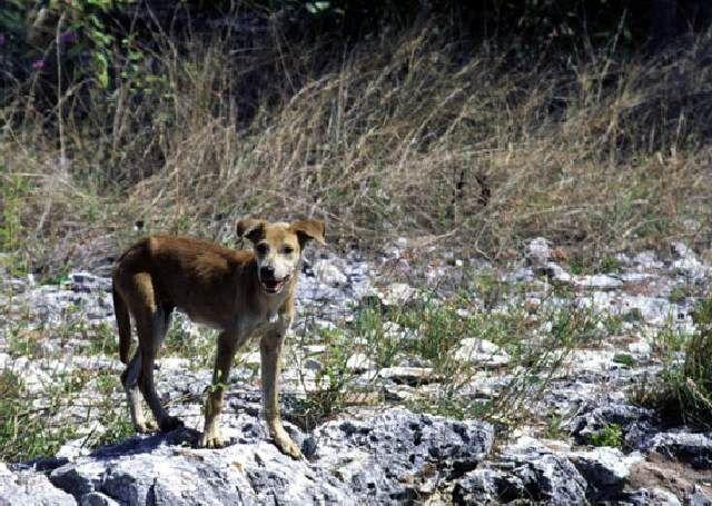 (cc) Feral dog (windhundartig)