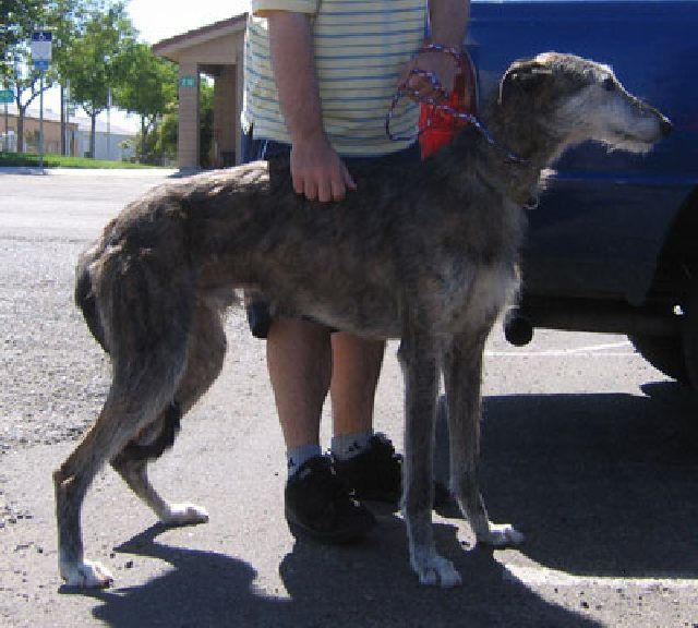 (cc) American Staghound, wikiipedia