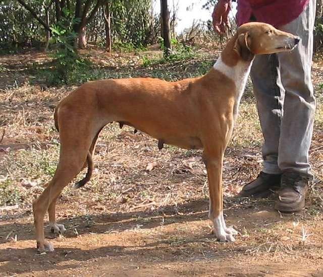 (cc) Neil Trilokekar, Mudhol Hound, indischer Windhund, wikipedia