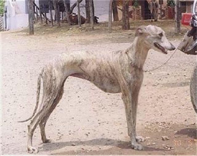 (cc) Rampur Greyhound, indischer Greyhound, wikipedia (gemeinfrei)