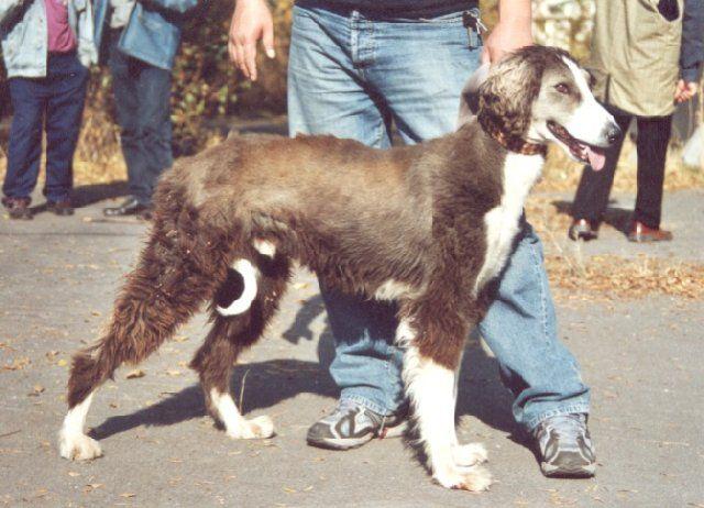 (cc) gemeinfrei, Taigan, kirgisischer Windhund, Wikipedia