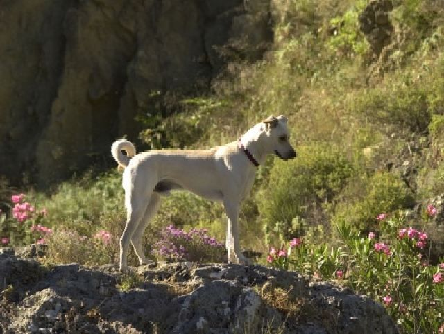 (cc) Kritikos Lagonikos (Kretahund), www.kretahund.de,wikipedia