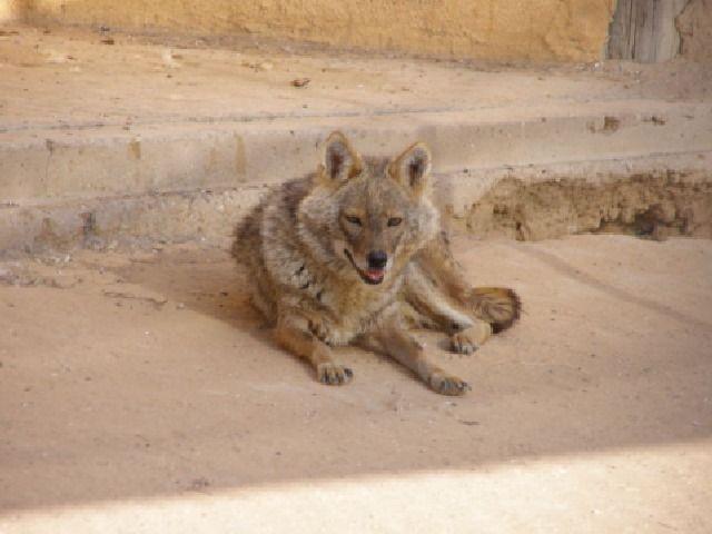 (cc) Felagund, Ägyptischer Wolf (Canis aureus lupaster), Wikipedia