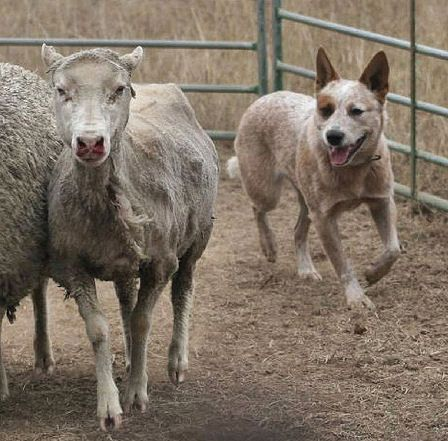 (cc) Marjorie Kibby, Cattle Dog, Wikipedia