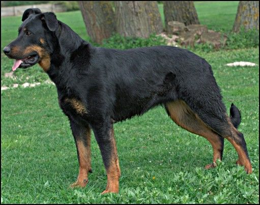 (cc) Beauceron, franz. Schäferhund, wikipedia