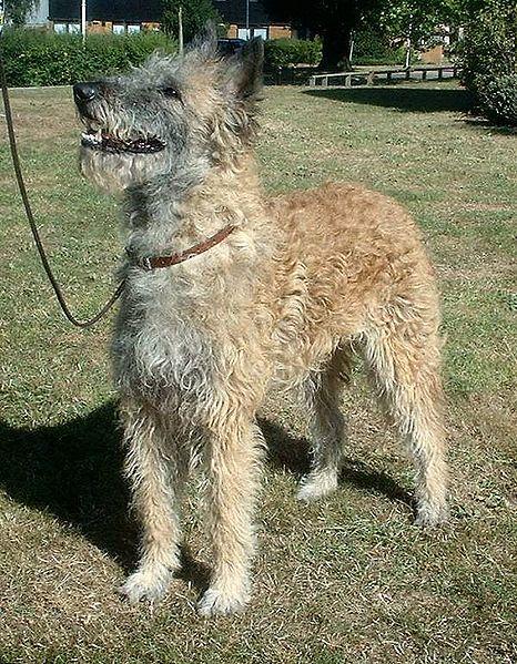 (cc) Sannse, Laekenois, Belgischer Schäferhund wikipedia