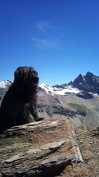(cc) Vouillamoz Thierry, Berger des Pyrénées, wikipedia