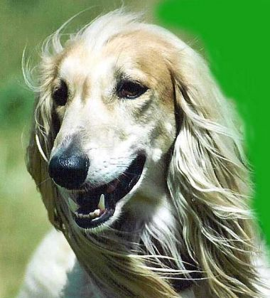 (cc) yettis doings, Afghanischer Windhund, wikipedia