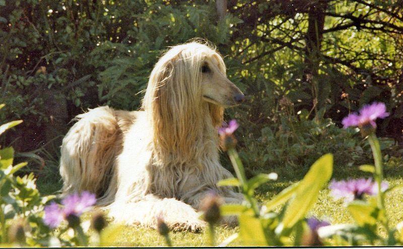 (cc) Afghanischer Windhund, wikipedia