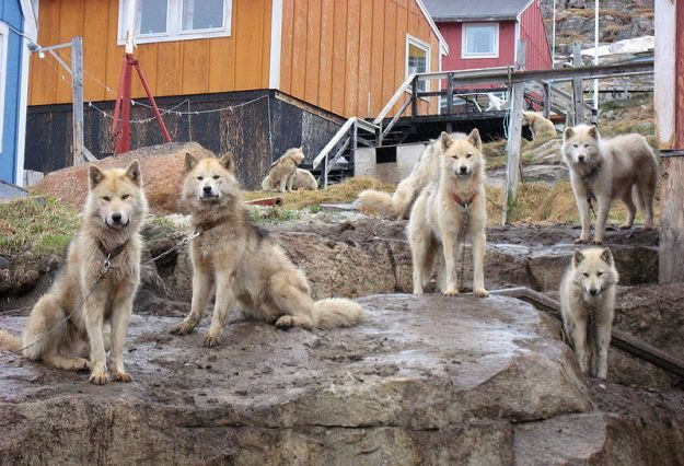 Nordische Hunde