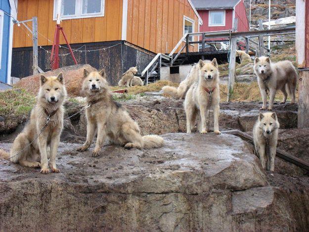 (cc) Kim Hansen, Grönlandhund, wikipedia