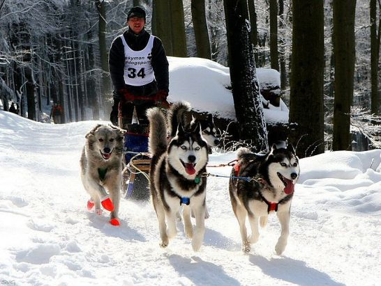 (cc) Schlittenhunderennen Rund um den Feldberg im Taunus (Januar 2006), wikipedia