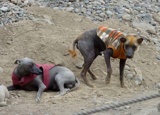 (cc) Peruanischer Nackthund, wikipedia