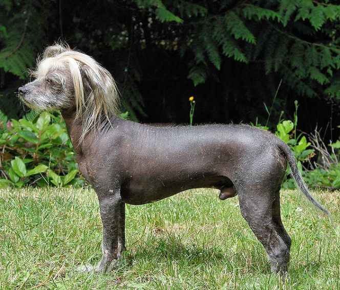 (cc) Sheri Terris, Chinesischer Schopfhund, wikipedia
