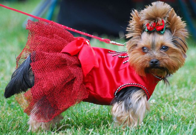 (cc) Lilly M, Yorkshire Terrier, Wikipedia