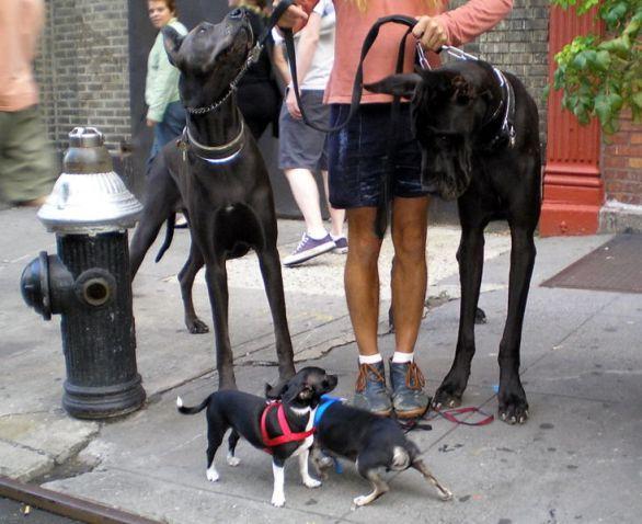 © David Shankbone, Chihuahua und Dt.Dogge