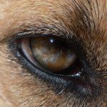 Das Auge, die Seele des Hundes