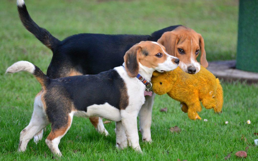 Deeskalation durch Blickvermeidung des jüngeren Beagles.